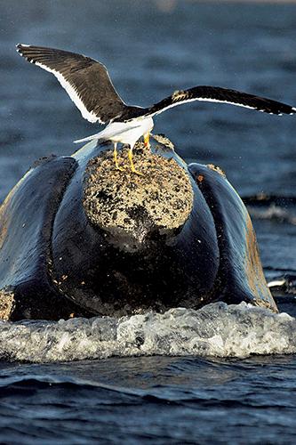 Вальдес – место, где чайки убивают китов