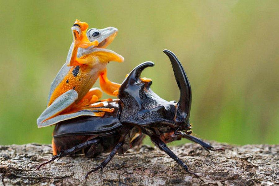 Лягушачье родео на рогатом жуке