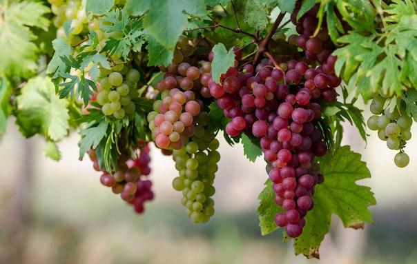 Виноград для северян: это факт или обман?