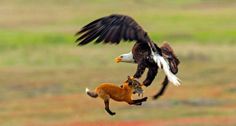 Фотограф снял эпическую борьбу лисицы и орла за кролика