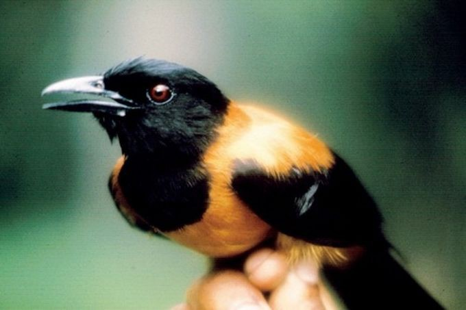 13. Двуцветная дроздовая мухоловка — одна из немногих ядовитых птиц. животные, природа