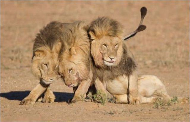 На следующее утро фото, природа, лев