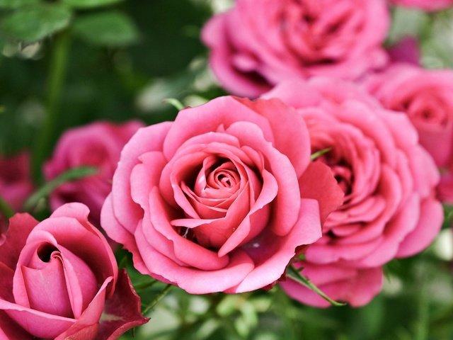 И пусть зима, и пусть морозы  прими в подарок  эти  розы!