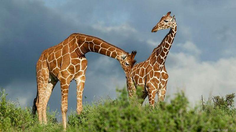 Странные и курьезные брачные ритуалы диких животных