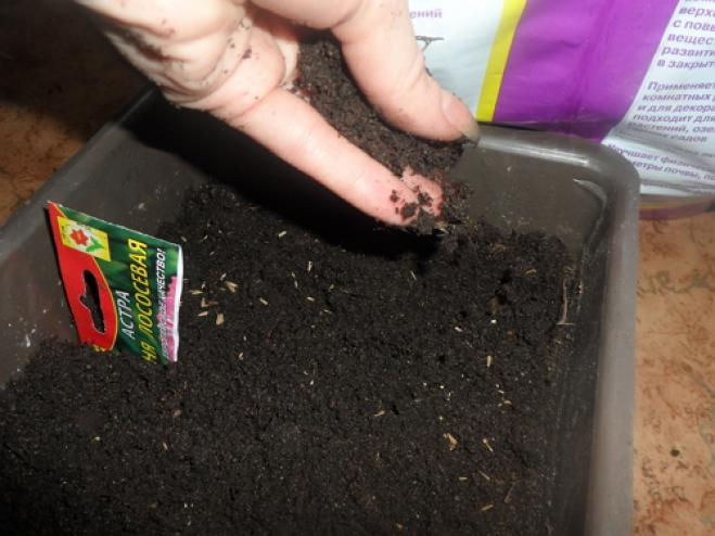 Выращивание астр в грунт 461