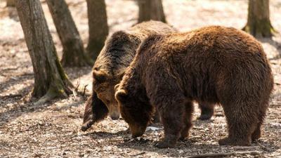 В Приморье запретили прогулки в детсадах из-за нашествия голодных медведей
