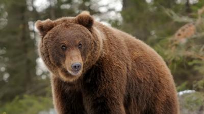 В Подмосковье вернулись медведи, лесхоз не советует делать с ними селфи