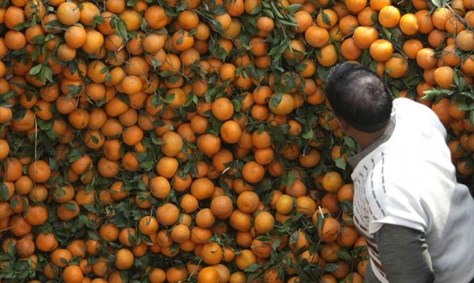 Сирия запланировала заместить турецкие цитрусовые в России