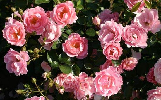 Почвопокровные розы / Зоммервинд Розы Нью-Джерси - Купить саженцы роз