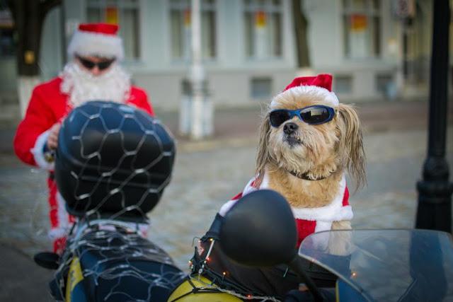 Пес-байкер Стич из Советска поздравил горожан с наступающим Новым Годом!