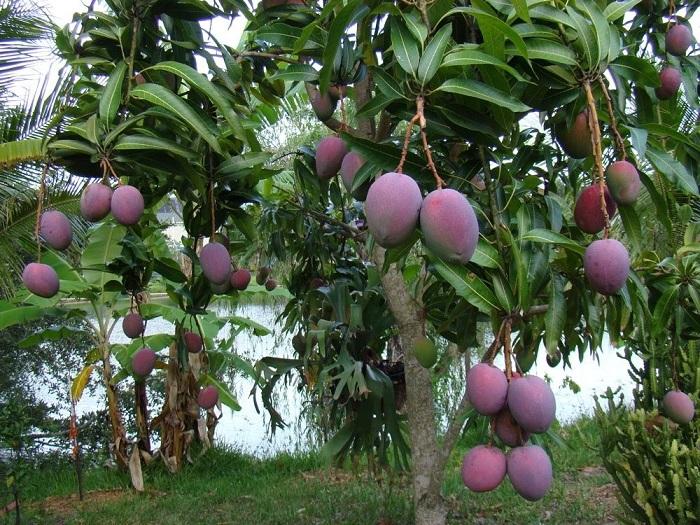 Экзотический плод, растущий в Индии и широко известен под названием «азиатское яблоко».