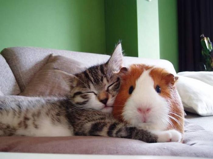 Морская свинка и котенок.