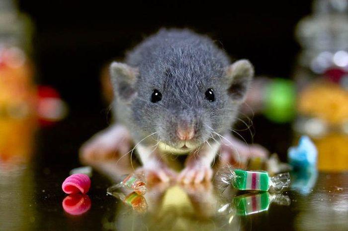 Ни-сколь-ко! животные, крыса, милота, позитив