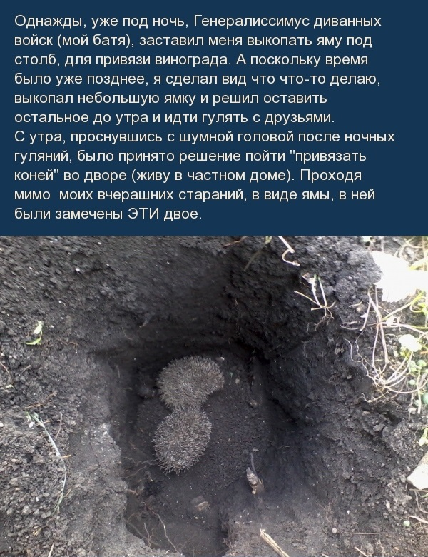 Спасение ежей из ямы ежи, животные, спасение