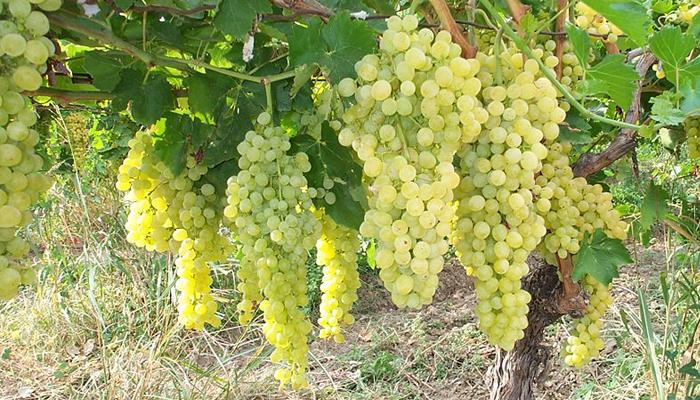 Операции по уходу за виноградом