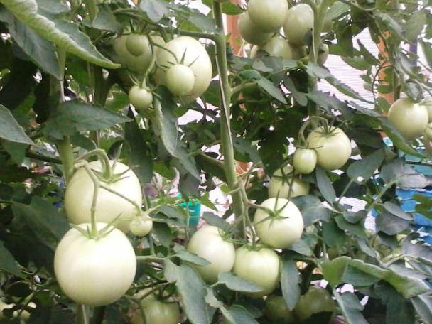 подкормка помидоров в теплице и открытом грунте
