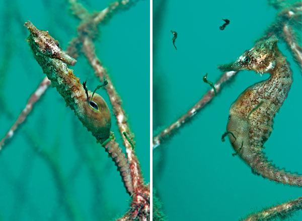 Биологи показали, как рожает самец морского конька