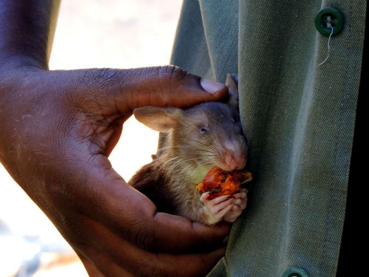 Фото больших крыс 25 фотография