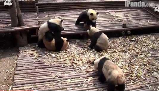 Массовая драка панд произошла в китайском зоопарке