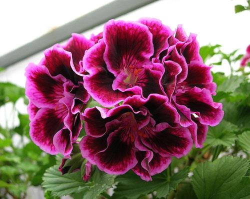 Это действительно роскошный и капризный цветок, прямо-таки царственная особа среди пеларгоний или попросту гераней...