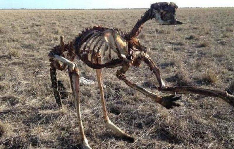 Эта фотография скелета кенгуру показывает жестокую реальность австралийской засухи