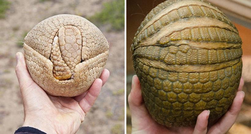Если обнаружите такой «мячик», не стоит его пинать, ведь это чудное, редкое животное