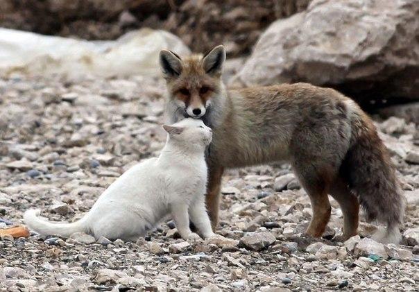 Слишком разные: кот и лис)