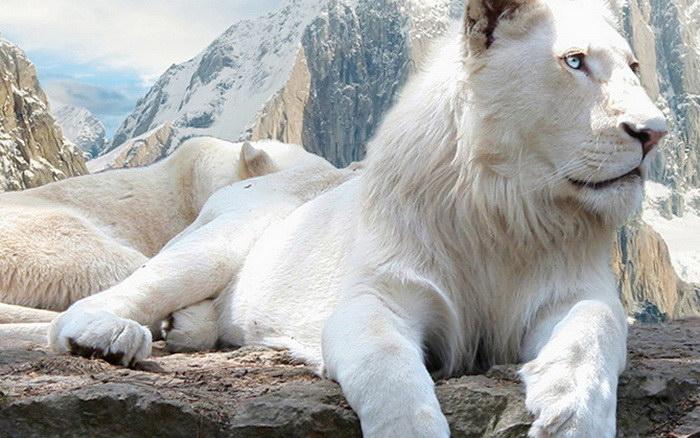 Белые львы: такие редкие и такие красивые