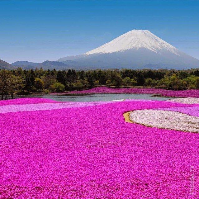 Туннели из цветущей глицинии в Японии - не менее прекрасны, чем сакура