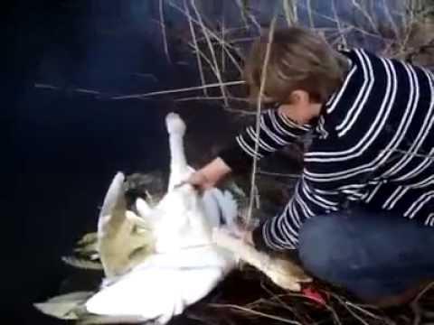 Два лебедя запутались друг в друге и в своих отношениях намерво. Я был расстроган до глубины души, когда увидел финал