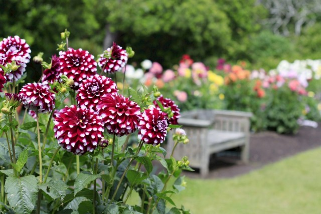 Георгины в саду — описание, …