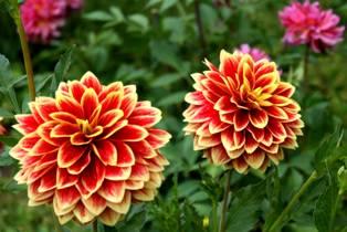 Цветы георгины-- украшение садов Изображения (фотографии) цветов