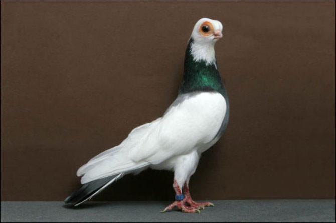10 необычных пород голубей