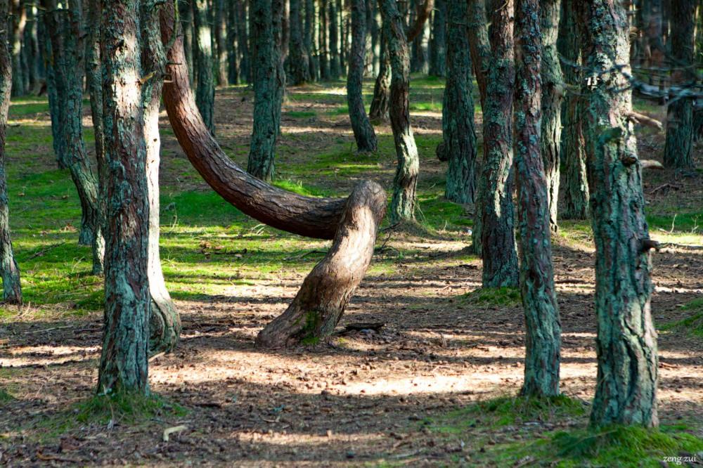 Танцующий лес, Калининградская область интересное, мистика, россия