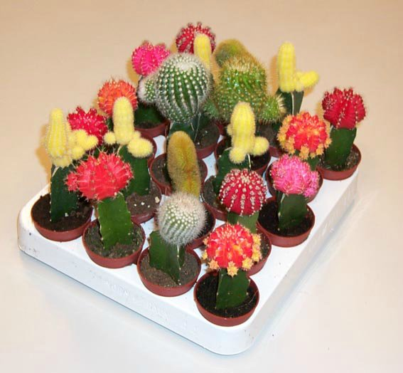 Голландские кактусы виды кактусы микс