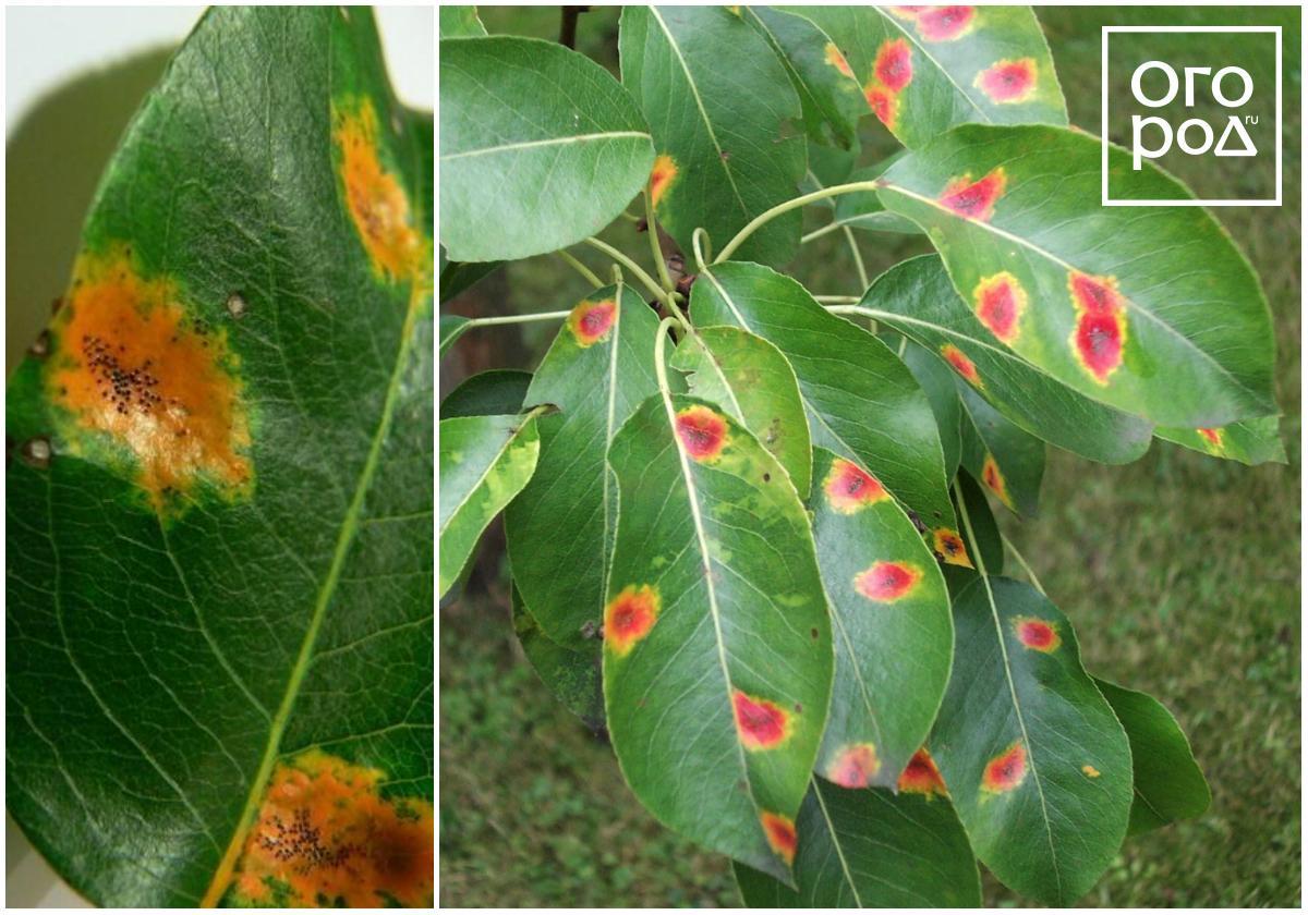 На листьях груши красные пятна: причины и лечение