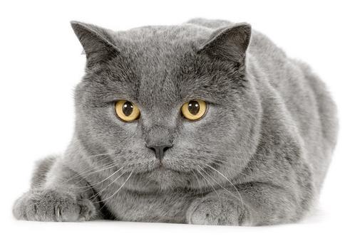 Шартрез — Картезианская кошка с золотыми глазами