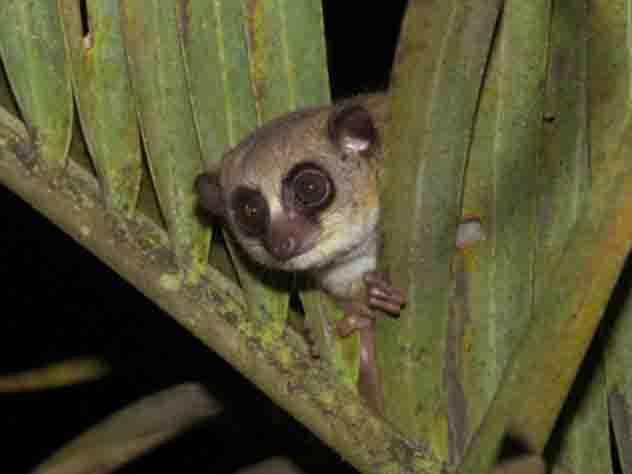 Ученые обнаружили самых мимимишных лемуров в мире