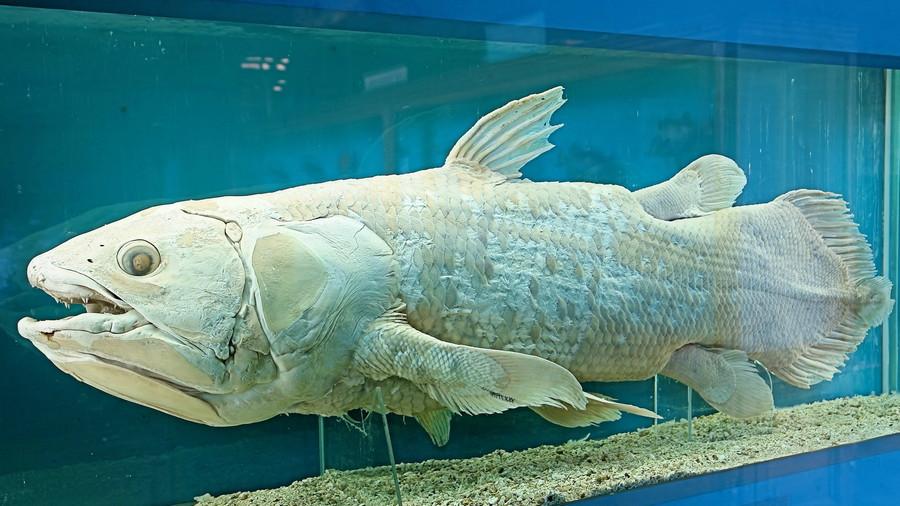 7. Латимерия. глубоководные рыбы, монстры, рыбы