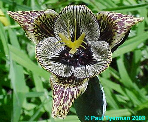 Pacific Bulb Society Tigridia Two