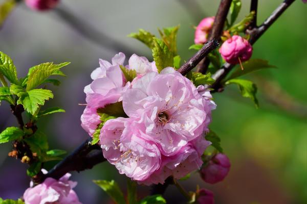 Миндаль трехлопастный (луизеания), сорт Плена (Prunus triloba Plena)