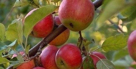Способы заставить плодоносить деревья, еще быстрее!!!