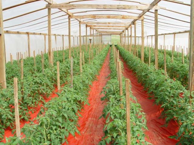 Как посадить и вырастить помидоры в теплице
