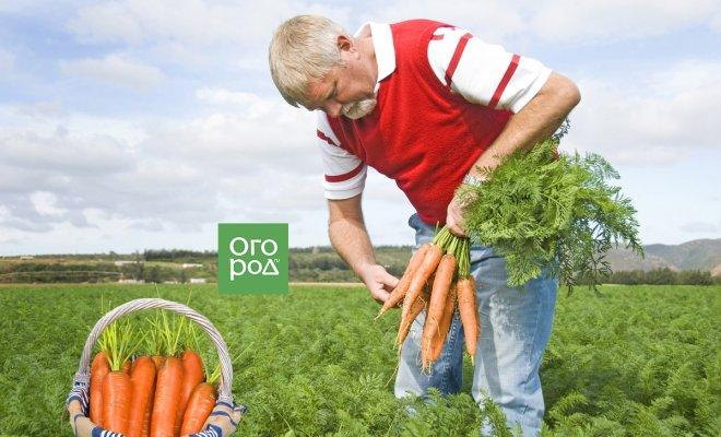 Кто съедает урожай? 3 самых опасных вредителя моркови