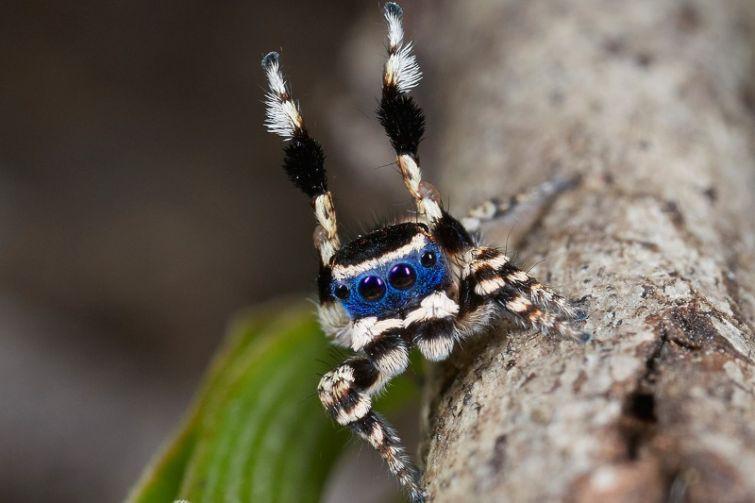 Maratus personatus – самый милый крошечный паук паук, позитив