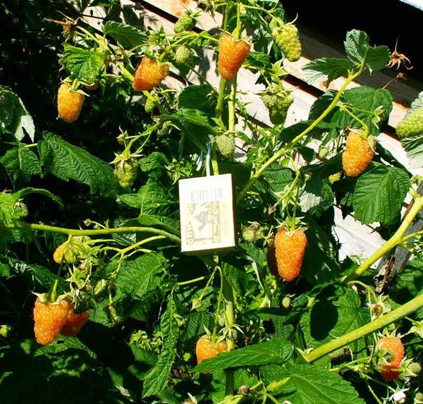 Оранжевое чудо — элита ремонтантной малины