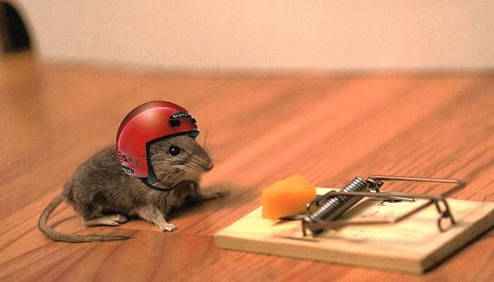 7. Мыши без ума от сыра заблуждения, мифы