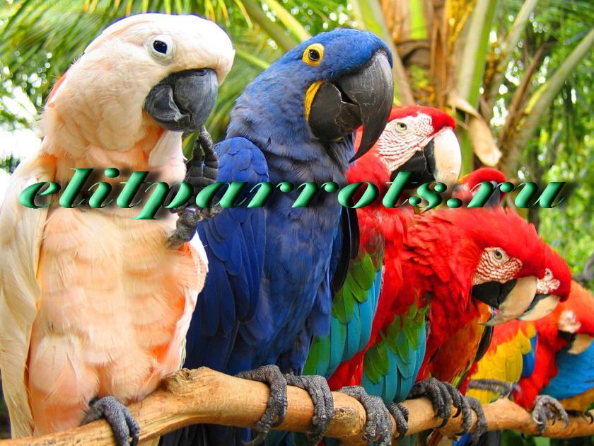Попугаи - абсолютно ручные птенцы из питомников Европы и США