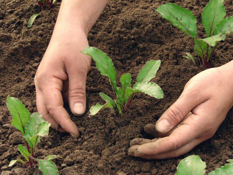 Руки после огорода — всегда чистые и ухоженные