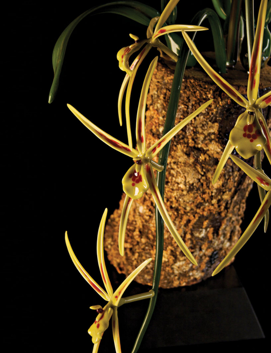 Brassia-verrucosa (536x700, 341Kb)